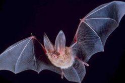 चमेरो कसरी नठोक्कीकन अँध्यारो बाङो-टिङो गुफाभित्र पनि सजिलै उड्न सक्छ ?